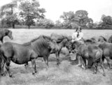 Woman breeds Shetland ponies on Hertfordshire farm - 14-August-1929