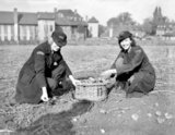 Sir Bernard Spilsbury's daughter digs potatoes after ambulance driving - 23-October-1941