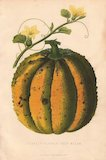 Yellow flowered, scarlet-fleshed rock melon or cantaloupe, Cucumis melo var. cantalupensis.