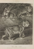 Full Page Illustration of Genus Felis.  Illustrations are of Felis Tigris; Felis Pardus; and Felis Leopardus.