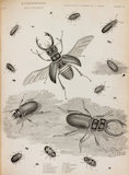 Full Page illustration of Coleoptera beetles