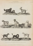 Full Page Illustration of different dog breeds. Illustrations are of a King Charles; Pyrame; Naked or Turkish Hound; Pug; Spaniel; Shock; Small Dane; Lion Dog; and Roquet.