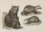 Close up Illustration of Ursus Americanus; U. Gulo and U. Meles.