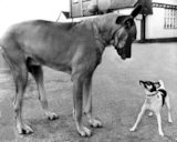 Fox Terrier and Great Dane