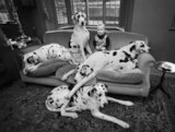Great Danes and boy