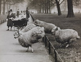 First day of Spring - hurdling sheep in Hyde Park, 1932