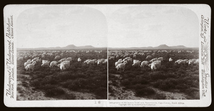 'Goats grazing on the barren Veldt near Naauwpoort, South Africa', 1900.