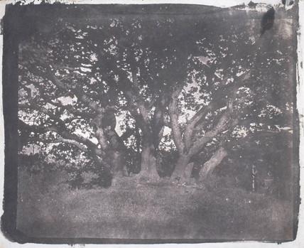 Oak tree, c 1841.