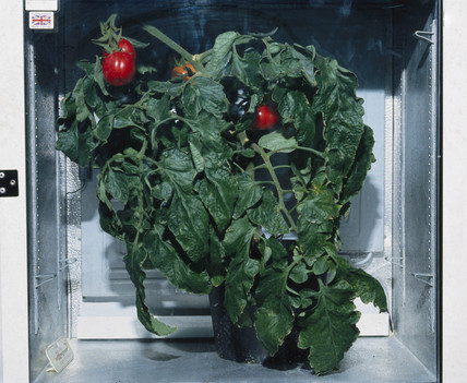 Genetically modified tomato plant, 1998.