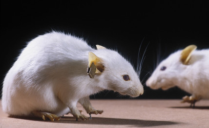 Two freeze dried genetically engineered mice, 1988.