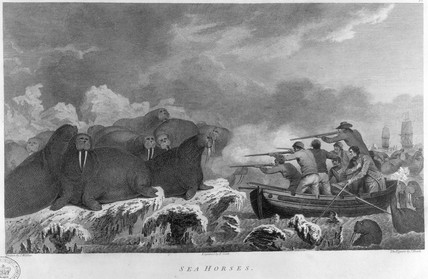 Walrus being shot during one of Captain Cook's three Pacific voyages, 1770s.