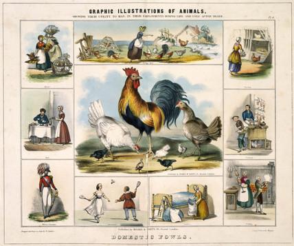 'Domestic Fowls', c 1845.