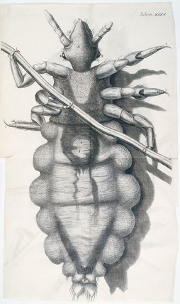 Louse clinging to a human hair, micrograph, 1664.