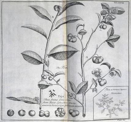 Tea shrub, c 1690.