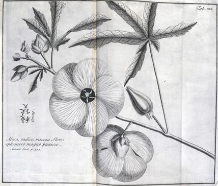 The Alcea, c 1690.