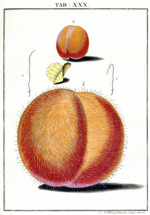 Peaches, 1776.