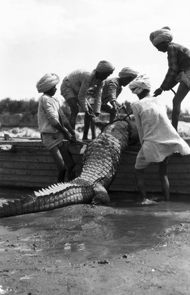 Five Indian youths manhandling a crocodile