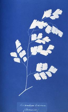 Cyanotype of British fern, 1853.