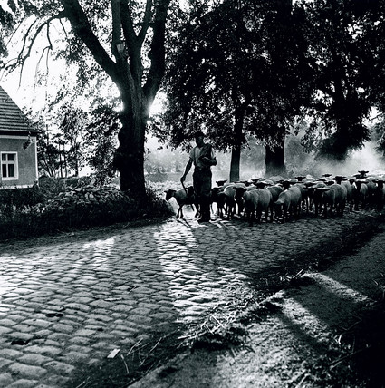 Shepherd leading his flock along a cobblestone road, c 1930s.