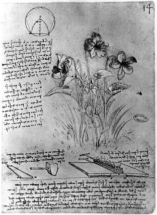 Drawings of plants from Leonardo's notebooks, late 15th century.