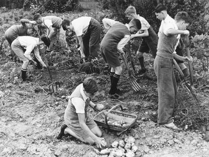 Schoolboys digging potatoes, 22 September 1