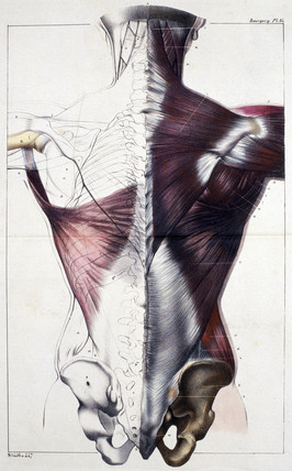 Muscles of the human back, c 1859.