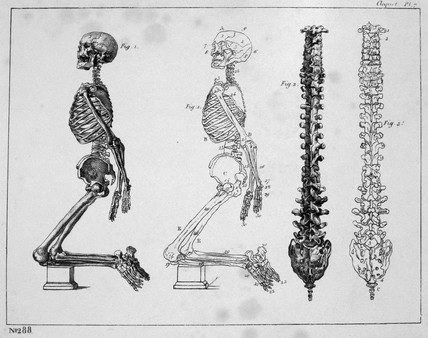 'Skeleton - Vertebral column', c 1815-1859.