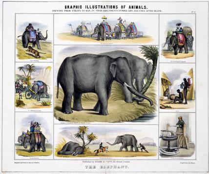 'The Elephant', c 1845.