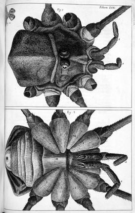 Shepherd Spider, or long legged spider, micrograph, 1664.