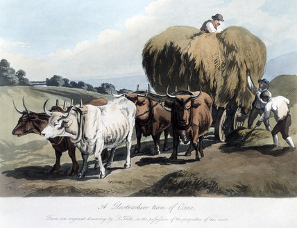 'A Gloucestershire Team of Oxen', c 1818.