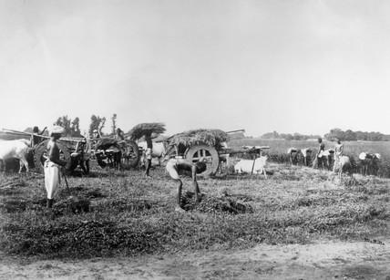 Cutting and loading indigo, Allahabad, India, 1877.