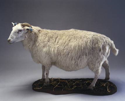 Tracy, a transgenic sheep, 1999.
