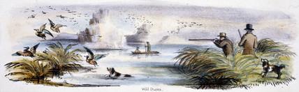 'Wild Ducks', c 1845.