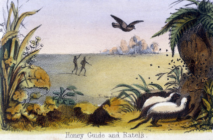 'Honey Guide and Ratels', c 1845.