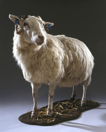 Tracy, a transgenic ewe, 1999.