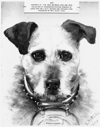 Tim, railway collecting dog, c 1930. Portr