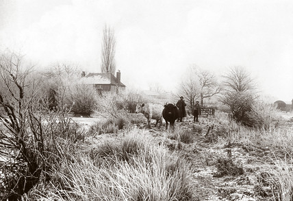 Herding cattle, c 1890-1900.