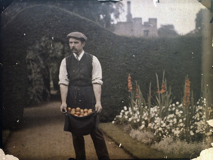 Gardener holding tomatoes in his apron, 1900s.