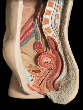 Cut away anatomical figure of a female abdomen, 1977.