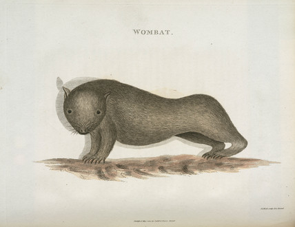 Wombat, Australia, c 1798.