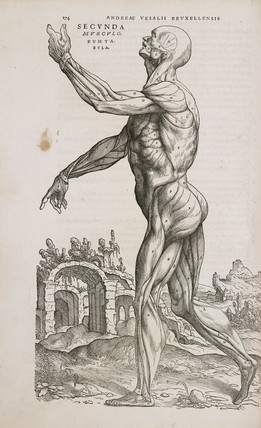 Side view of the superficial muscles of the male human body, 1543.