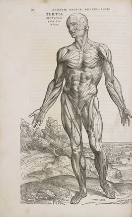 Front view of the superficial muscles of the male human body, 1543.