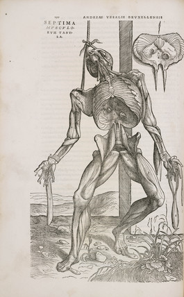 Front view of the deeper muscles of the male human body, 1543.