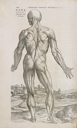 Rear view of the superficial muscles of the male human body, 1543.