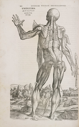 Rear view of the muscles of the male human body, 1543.