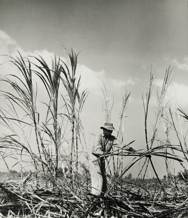 Sugar cane harvest near Georgetown, Guyana, 1958.
