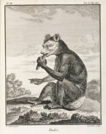 The Indri - a type of lemur, Madagascar, 1774-1781.
