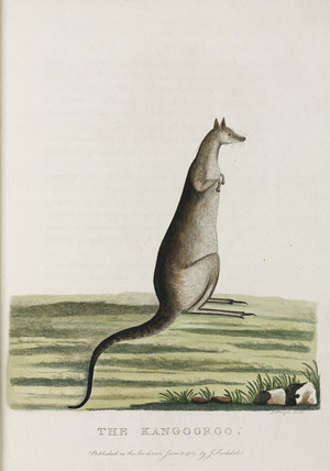 'The Kangooroo', Australia, c 1788.