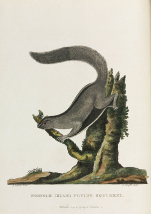 'Norfolk Island Flying Squirrel', Australia, c 1788.