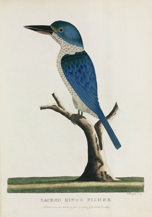 'Sacred King's Fisher', Australia, c 1788.